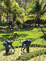Rice planting : Four Seasons Resort Chiang Mai, Mae Rim, Phuket