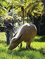 Water Buffalo : Four Seasons Resort Chiang Mai, Mae Rim, Phuket