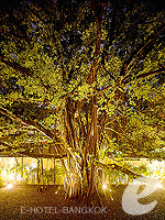 Sai Tree at Garden : Millennium Hilton Bangkok, Riveride, Phuket